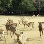 奈良公園鹿寄せ