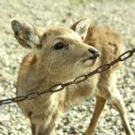 奈良公園の小鹿